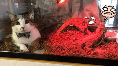 冷到受不了!喵星人「翻進爬蟲箱」照燈 鬃獅蜥嚇跑:新室友也太大