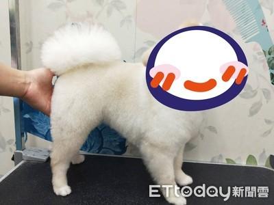 博美大變身 美容師:是布丁狗!