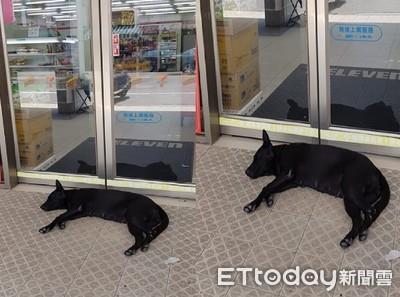 狗躺自動門睡覺 客人進出用跨的
