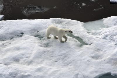 冰層太薄 56頭北極熊入俄國覓食