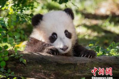 回國一個月!6歲熊貓吃飽狂撞門:放我出乃玩