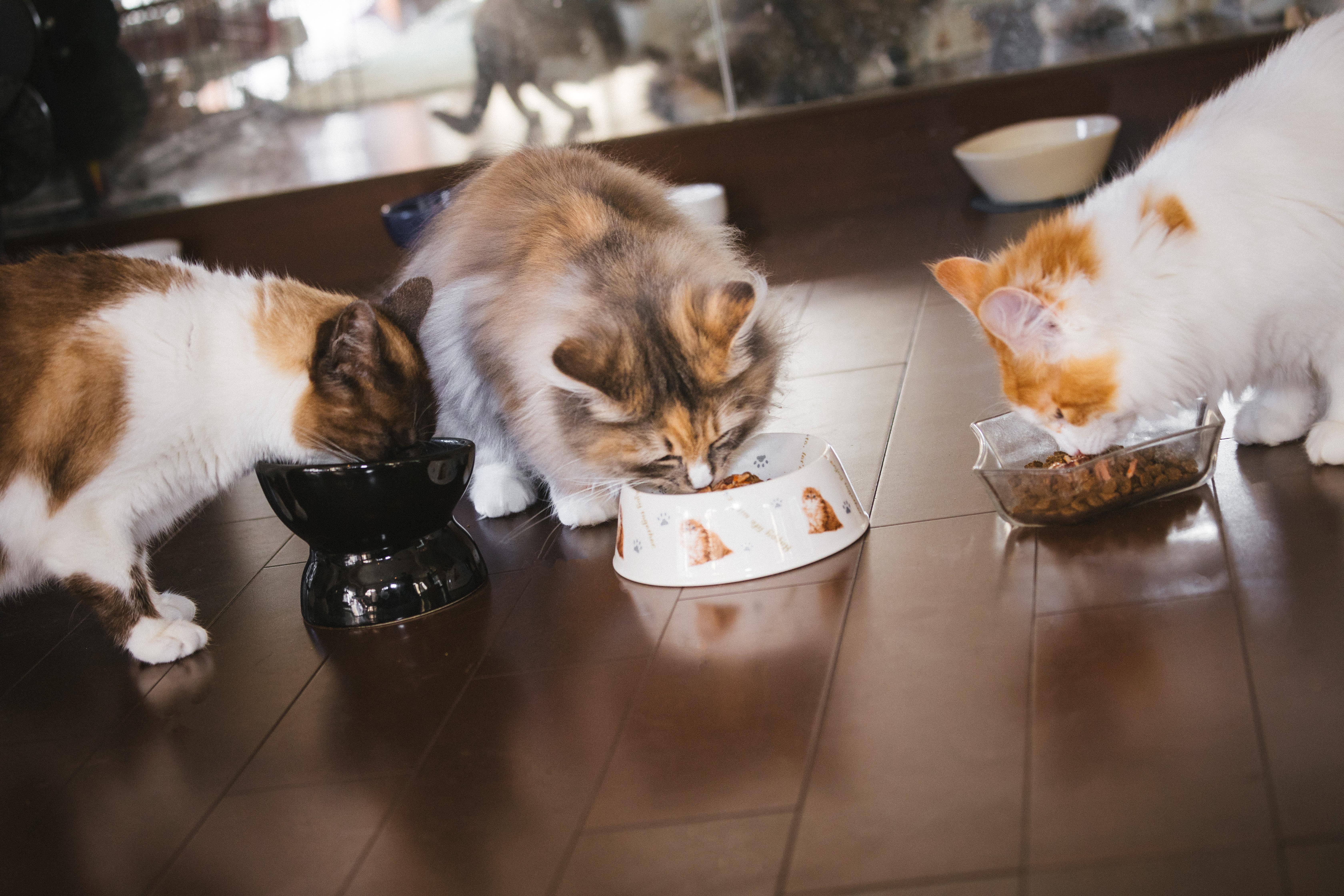 ▲貓咪,貓貓,喵星人,多貓,貓皇 。(圖/取自免費圖庫Pakutaso)