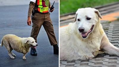 帥警守護「斷腿浪犬」過馬路!牠轉頭露齒燦笑,暖心畫面被拍下