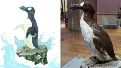 剛逃過火山爆發 冰島大海雀「被博物館抓到絕種」…僅存50隻全變標本