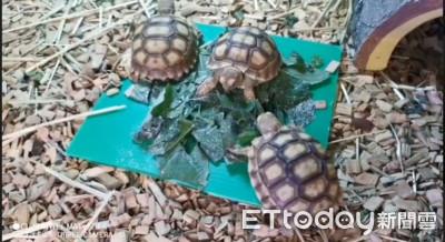 小象龜搶食輸了 生氣模樣萌翻!