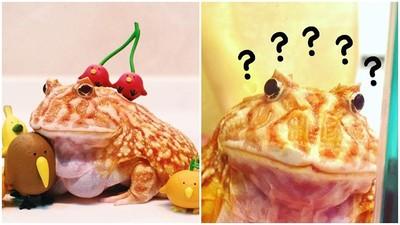 百年一見萌顏巨乳!角蛙阿肥深藏不露「好身材」:好大一碗蛙粿!