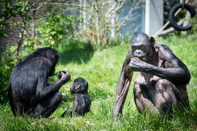 倭黑猩猩媽監視兒「嘿嘿嘿」 2手段幫找女友