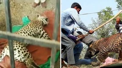 花豹母子「無攻擊行為」仍被殺死!農地擴占棲息地 村民兩手一攤不認錯