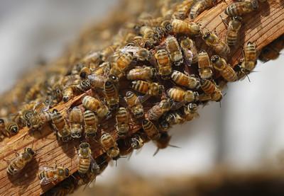 8萬隻蜜蜂同居 夫妻被嗡嗡聲打擾一年多