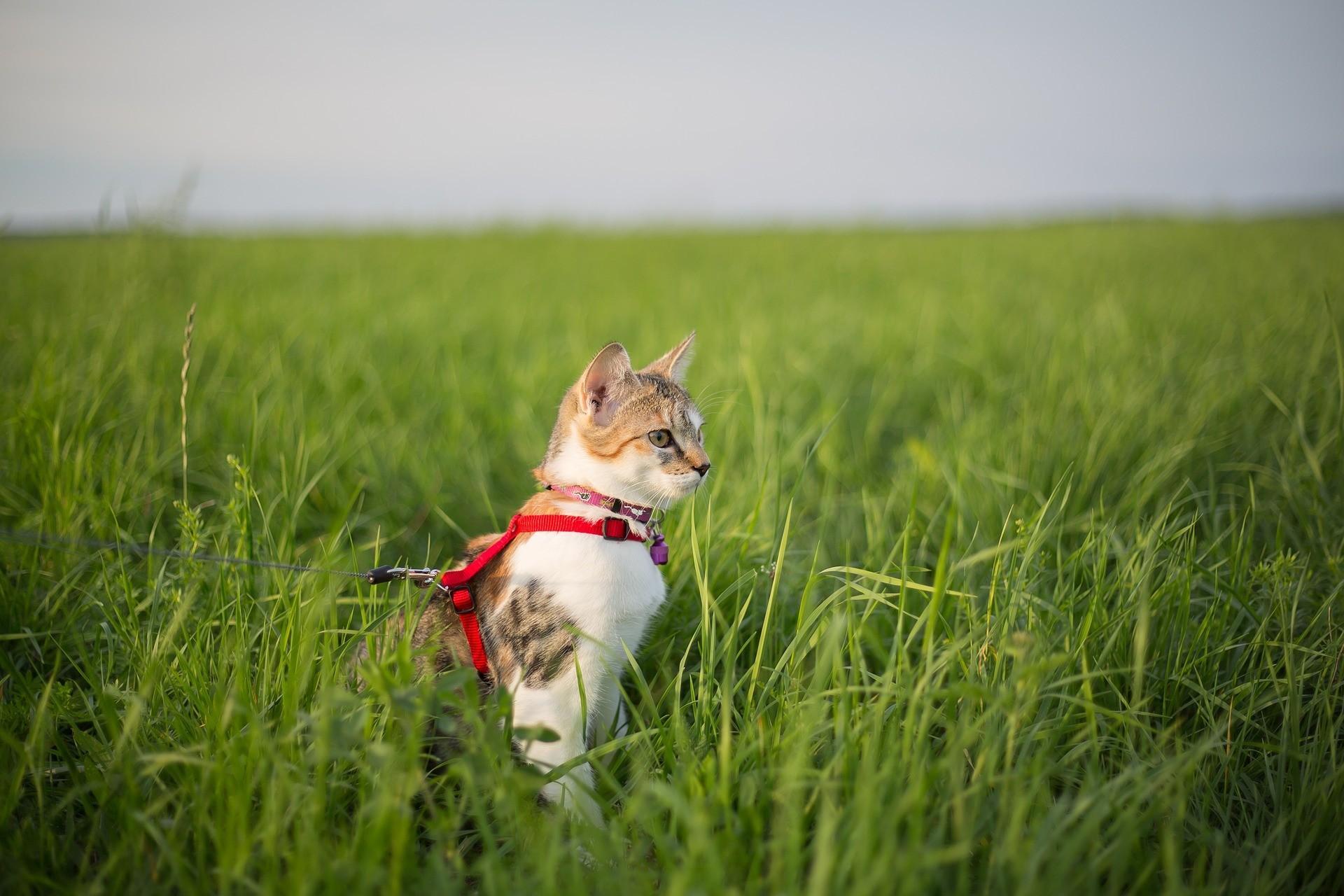 ▲貓,貓咪,貓皇,貓貓,牽繩,遛貓,貓奴。(圖/翻攝自免費圖庫Pixabay)