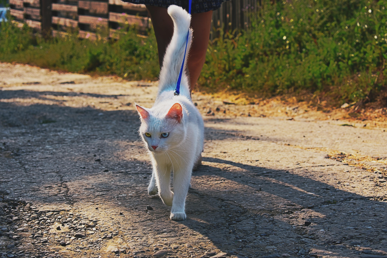 ▲貓,貓咪,貓皇,貓貓,牽繩,遛貓,貓奴,寵物。(圖/翻攝自免費圖庫Pixabay)