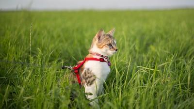 遛貓教戰守則!牽繩+封閉活動空間 貓皇腰內肉靠散步鏟光