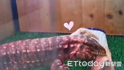 爬蟲其實超可愛!南美蜥蜴「餓到吃手套」玩開:啊啊啊咬不斷(甩