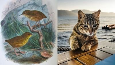 被一隻貓滅絕的物種! 活在無人島上「史蒂文島異鷯」不懂飛是悲劇