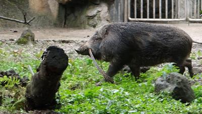 豬姊妹搖尾叼樹葉 築窩準備夜宿