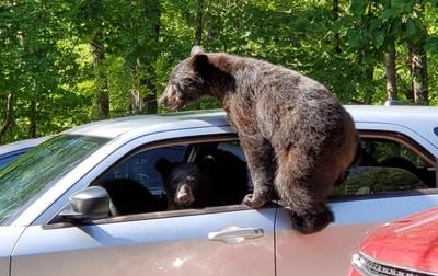 愛車遭3隻頑皮小熊闖入「佔領」 他驚見熊媽媽也守在旁邊!