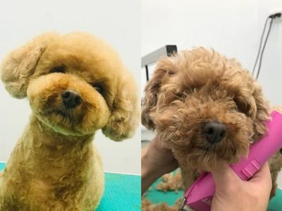 狗狗水療SPA好蘇西!美容團隊神手改造 一坨毛球→大眼萌娃