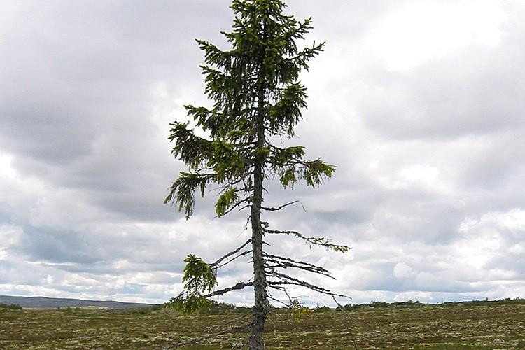 ▲年紀至少9560年的挪威雲杉「Old Tjikko」。(圖/翻攝自Sweden`s national parks)