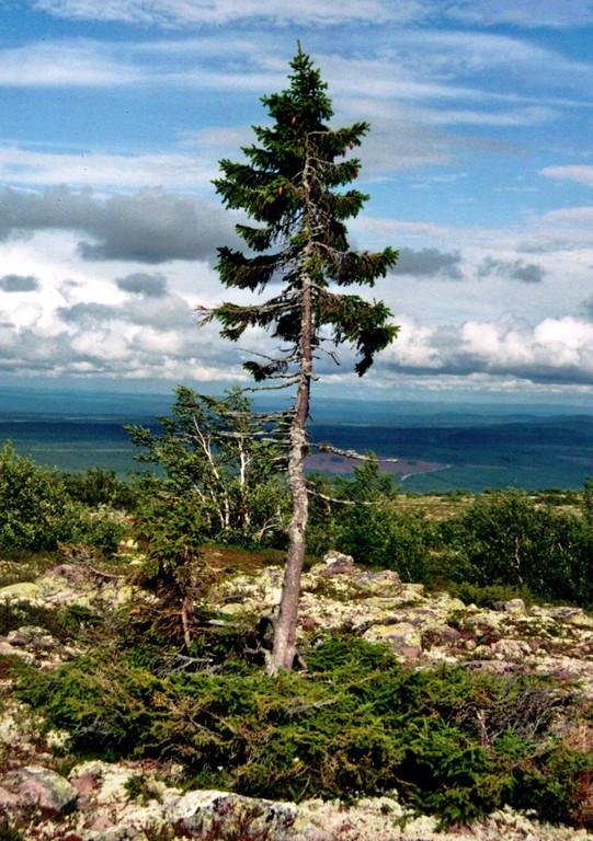 ▲年紀至少9560年的挪威雲杉「Old Tjikko」。(圖/翻攝自Wikipedia/Karl Brodowsky)