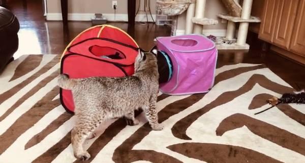 ▲▼女子將山貓誤認家貓。(圖/翻攝自Craigslist)