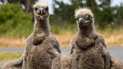 美國國鳥小時這麼醜!白頭海鵰就像縫壞的絨毛娃娃
