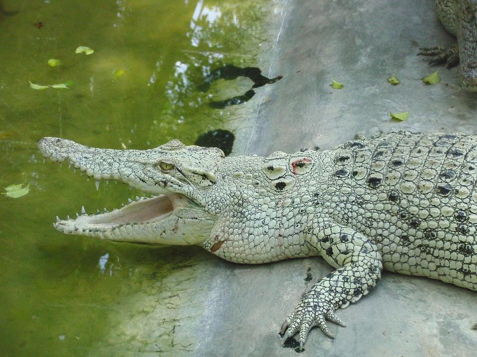 ▲▼紐約都市傳說《下水道鱷魚》。(圖/取自免費圖庫Pixabay)