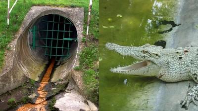 寵物鱷魚被沖馬桶 長成怪物「潛伏下水道」 美都市傳說蔓延到台灣