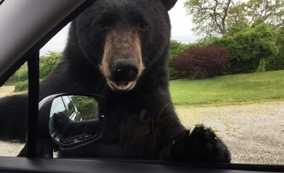 黑熊想上車 「車門拔河」嚇壞女司機
