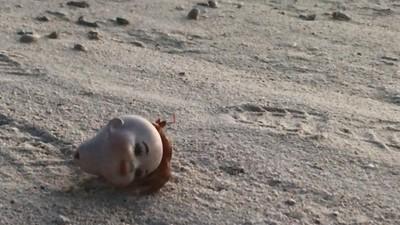 沒殼只能住詭異人頭!鳳螺吃完記得「捐出去」 讓寄居蟹能有個家