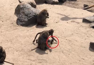 狒狒搶走小鴨「狂啃頭」 血滴整地超驚悚