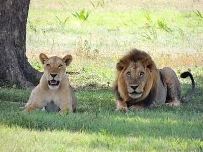 陸動物園2獅子「瘦成皮包骨」