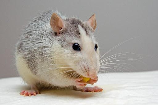 ▲▼老鼠。(圖/取自免費圖庫Pexels)
