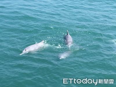 離岸工程噪音 白海豚恐遭殃