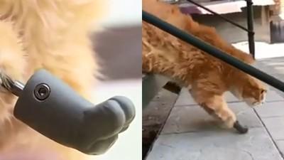 義肢讓牠重拾生命力!浪貓凍傷遭截肢 裝上「3D列印掌」又能出門了