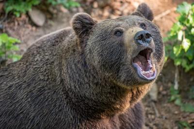 登山遇母熊攻擊 男子打熊眼逃脫