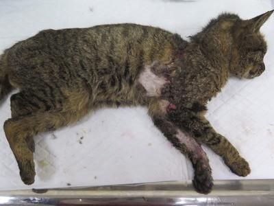 橡皮筋貓恢復體態 照片曝光網暴動