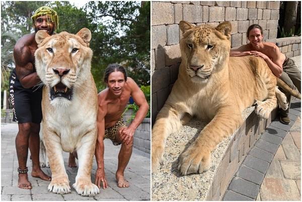 獅虎319kg溫馴巨獸!「撒嬌大貓」每天討摸…網知真相心疼:牠無法獨自活