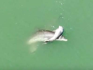 悲傷海上葬禮 海豚抱緊寶寶不肯走