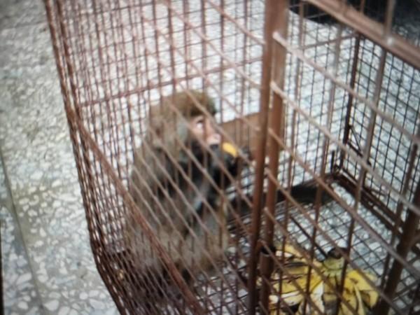 小獼猴大鬧市區四處偷食物吃 彰化和美鎮大家一起來「抓猴」