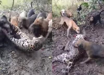 豹遭7狗圍咬 奮力反擊仍倒血泊亡