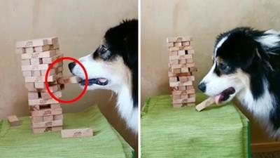 拜託不要倒!牧羊犬「牙齒移動2毫米」成功叼出木棍 一身才藝爆紅