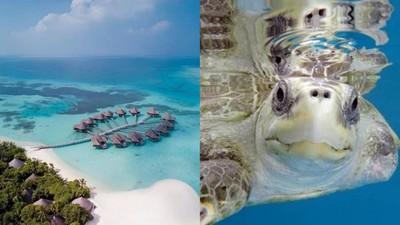 沒錢爽玩馬爾地夫! 渡假村徵「海龜保母」機酒免錢還能日落巡航