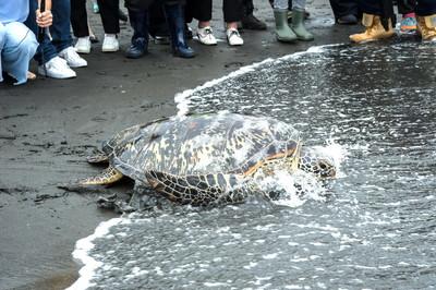 加油加油!不要再來 綠蠵龜「古木」野放