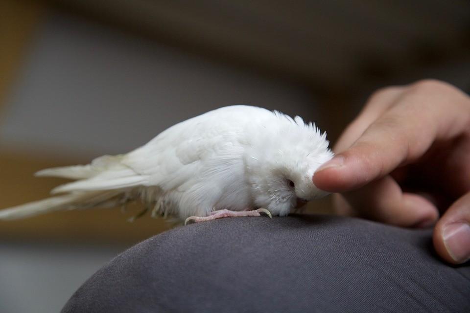 ▲▼鸚鵡。(示意圖/取自免費圖庫Pixabay)