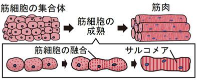 ▲▼日本複製細胞培養出人造和牛。(圖/翻攝自東京大學生產技術研究所)
