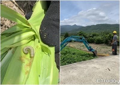 屏東發現第一隻秋行軍蟲 當場掩埋銷燬