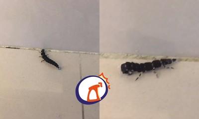 家中驚見「6腳小黑蠕蟲」扭屁股 網竟讚翻