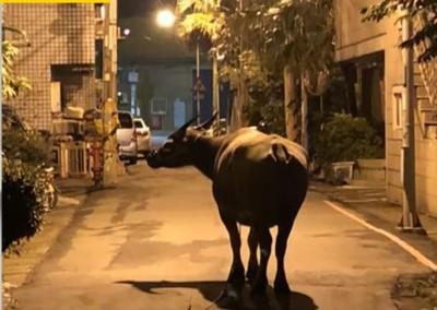半夜門被狂敲 他醒來見牛頭眼狠瞪超毛