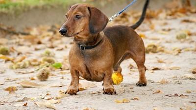 夏天狗狗掉毛情況更嚴重?小心是飲食出狀況 㹴類犬種更好發