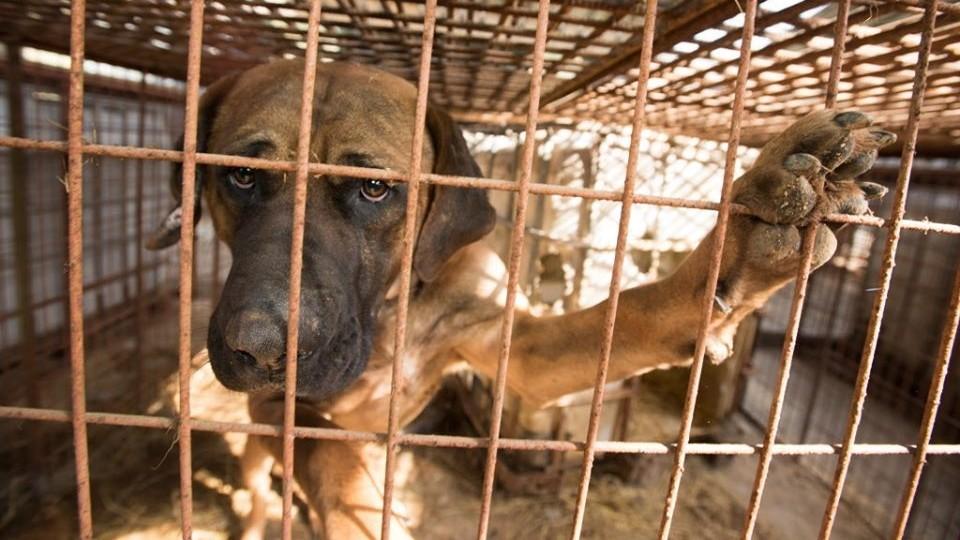 搶在開吃前救下62隻狗!「玉林狗肉節」又登場 籠中驚見戴項圈寵物犬